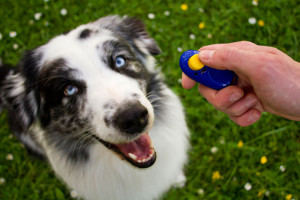 A dog learning new tricks through clicker training