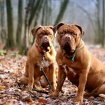 Two brown dogs sitting on a pile of leaves on a trail in the woods