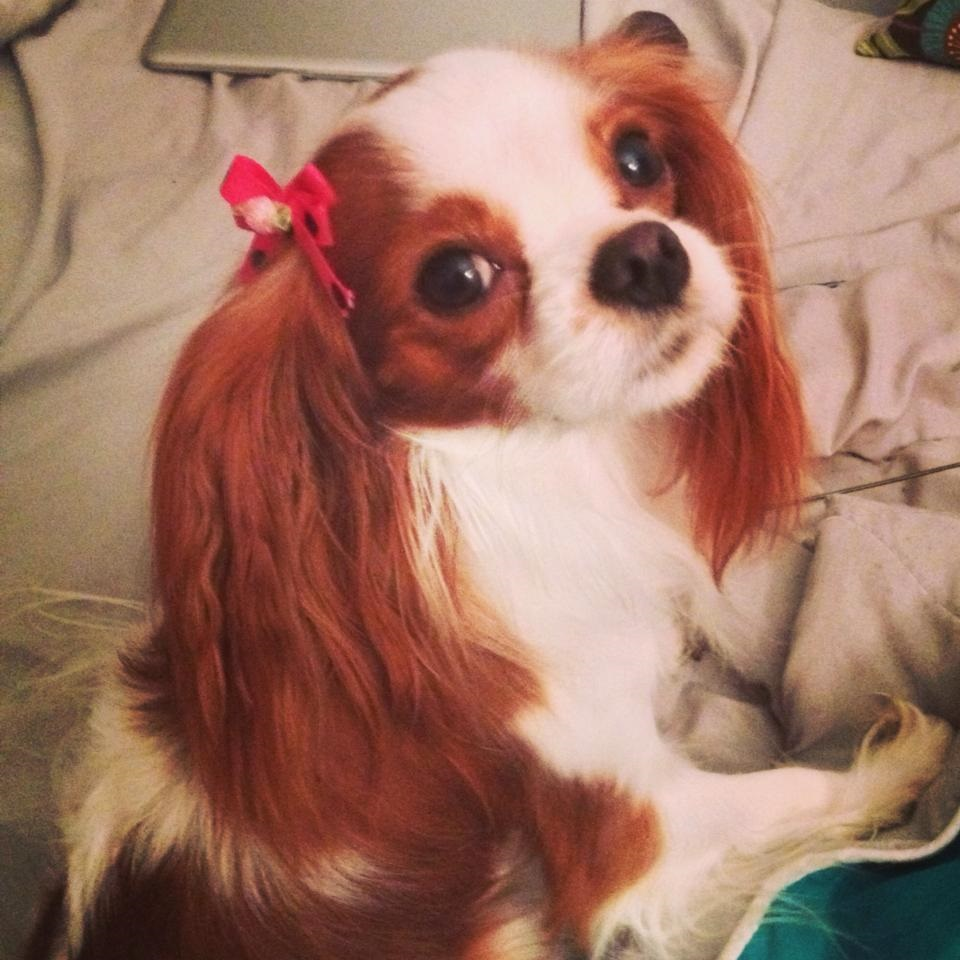 Flutie the King Charles Spaniels looking over her shoulder at the camera while relaxing on a blanket