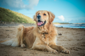Golden retriever laying down on the beach