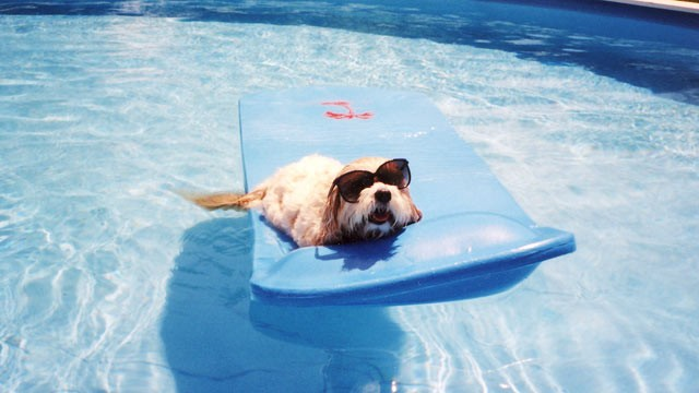Fluffy small white dog laying on a blue floaty in a clear swimming pool while wearing a pair of black sunglasses
